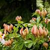 Western Azelia -- Rhododendron occidentale