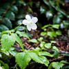 Columbia Windflower -- Anemone deltoidea