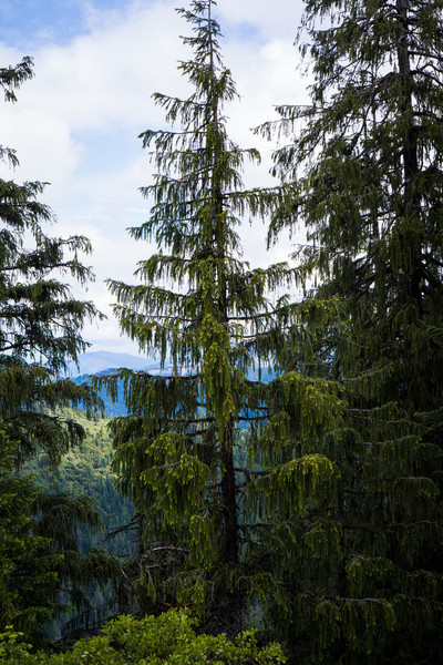 Brewer's Spruce -- Picea breweriana