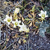 Alpine Gentian --Gentiana newberryi