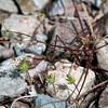Lianthus ciliatus -- Whisker Brush