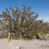 Elephant Tree -- Bursera microphylla