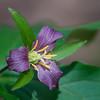 Wake Robin -- Trillium ovatum, Sonoma County, CA  April 2009