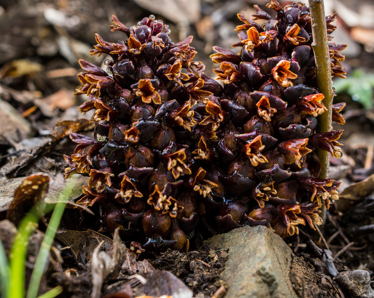 Ground Cone -- Boschniakia strobilacea