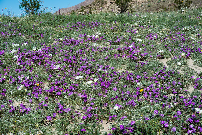 Desert Sand Verbena & Californa Evening-Primrose