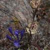 Calochortus tiburonensis -- Tiburon Mariposa Lily