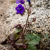 Desert Bluebells -- Phacelia campanularia