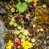 Sierra Sedum -- Sedum obtusatum