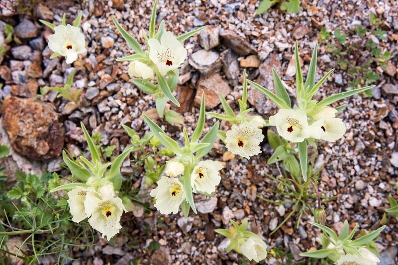 Ghost Flower -- Mohavea confertiflora