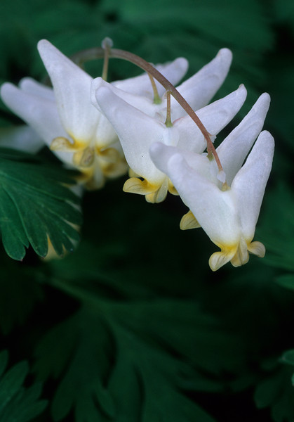 Dicentra cucularia -- Dutchman's Breeches -- Bent of the River Audubon Center, CT  Spring 1998