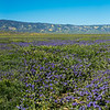 Fields of Phacelia,  Carizzo Plain National Monument,  CA  Spring 2017