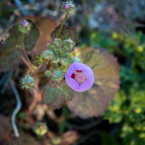 Desert five spot -- Eremalche rotundifolia