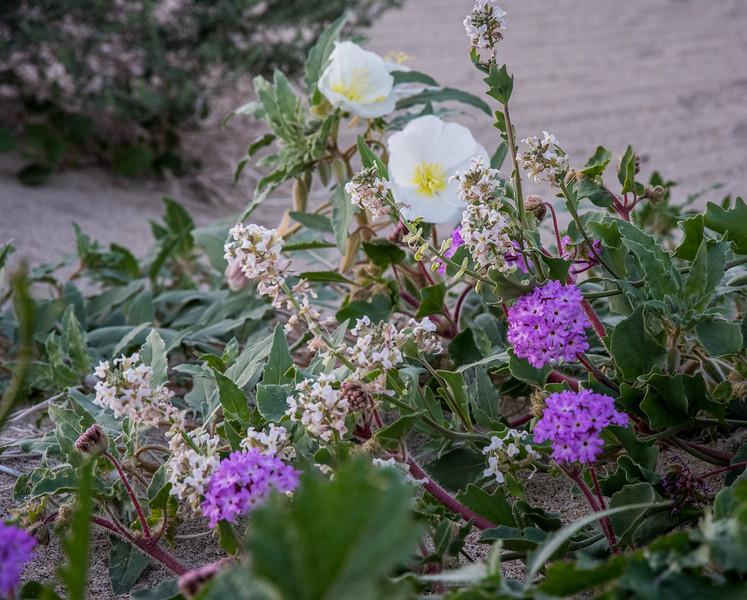California Evening primrose, Desert Sand Verbena, Browneyes