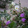 California Evening primrose, Desert Sand Verbena, Browneyes