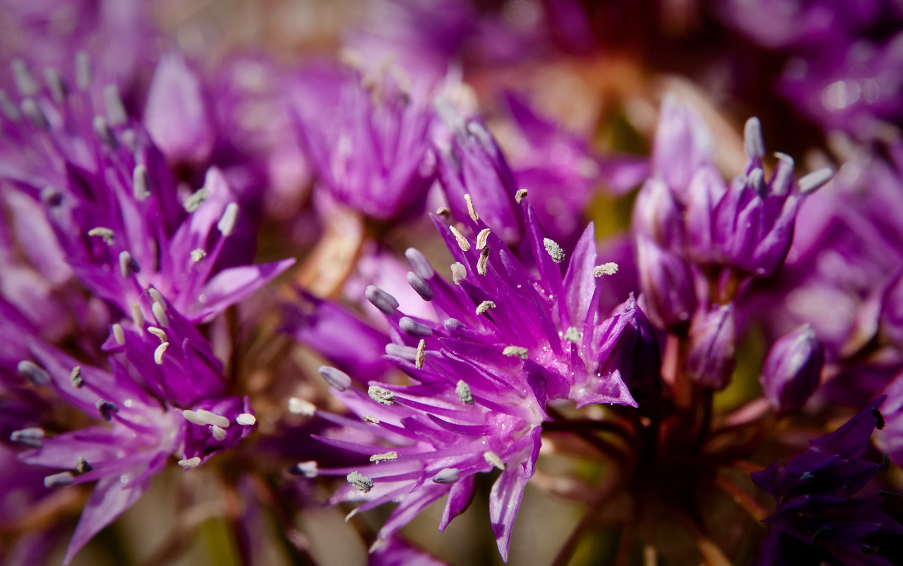 Allium lemmonii -- Lemmon's Onion
