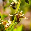 Stream Orchid --  Epipactus gigantea