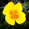 Eschscholzia californica --California Poppy