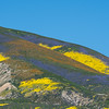 Temblor Range covered in flowers,  Carrizo Plain National Monument   March 2017