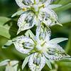 Frasera speciosa -- Monument Plant