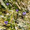 Sierra Gentian -- Gentianopsis halopetala