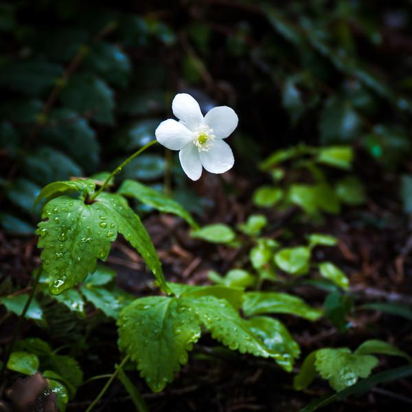 Columbia Windflower -- Anemone deltoidea