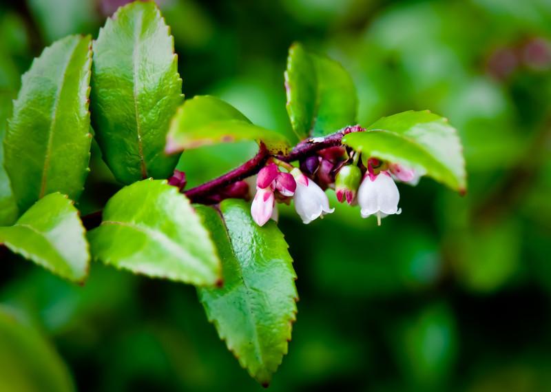 Huckleberry Blooms on Inverness Ridge