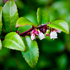 Huckleberry Blooms on Inverness Ridge