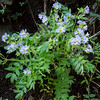 Western Jacob's Ladder -- Polymonium occidentale