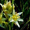 Star Lily -- Zigadenus fremontii