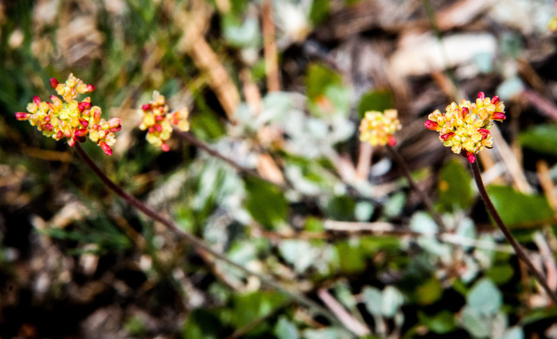 Eriogonum marifolium -- Marum-leaved buckwheat