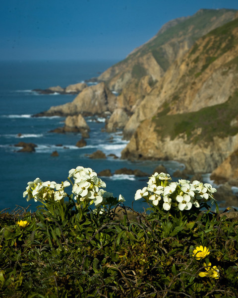 Wallflowers on Chimney Rock, Point Reyes National Seashore, CA