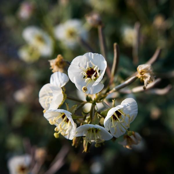 Browneyes -- Camissonia claviformis ssp claviformis
