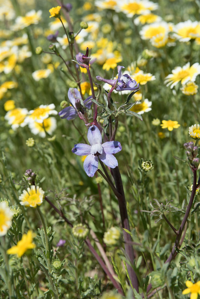 Recurved Larkspur -- Delphinium recurvatum