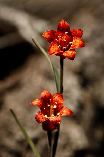 Fritillaria recurva