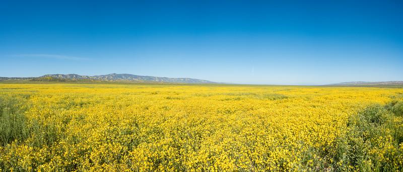 Fields of yellow composites, Carrizo Plain, CA, 2017