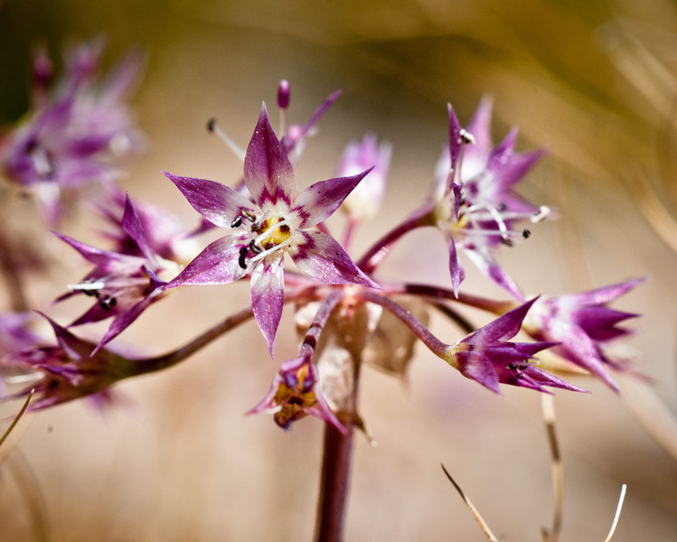 Allium campanulata -- Sierra Onion