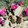 Beavertail Pricklypear -- Opuntia basilaris
