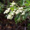 Tobacco Brush -- Ceanothus velutinus