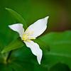Wake Robin -- Trillium ovatum
