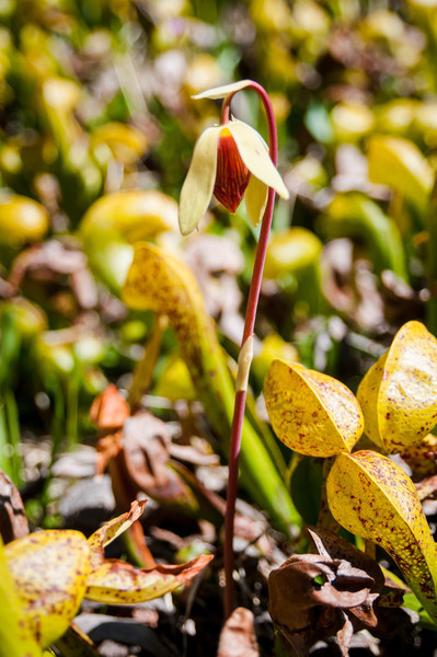 California Pitcher Plant -- Darlingtonia californica