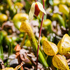 California Pitcher Plant -- Darlingtonia californica