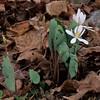 Sanguinaria canadensis -- Bloodroot