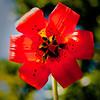 Lilium maritimum -- Coast Lily