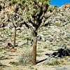 Joshua Tree -- Yucca brevifolia