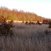 Little Bluestem Meadow -- Schizchyrium scoparium