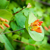Orange-flowered Honeysuckle -- Lonicera ciliata