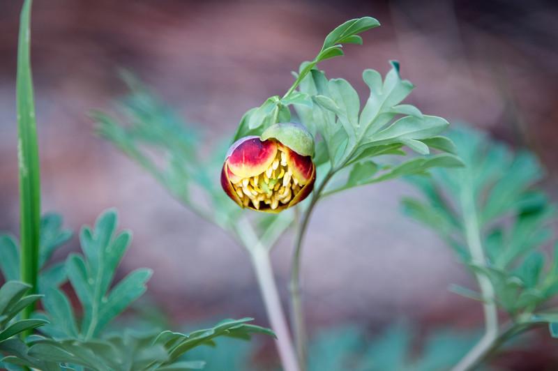Paeonia brownii -- Western Peony