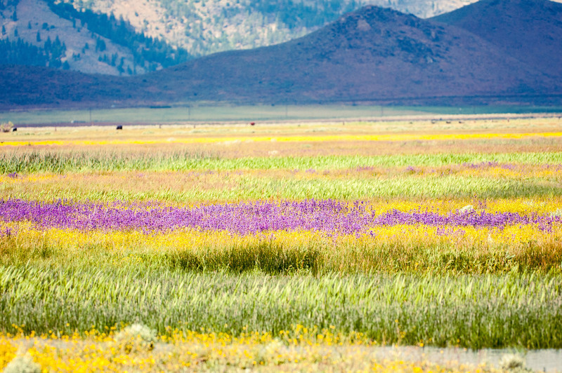 Sierra Valley Wildflowers