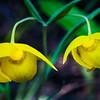 Golden Fairy Lantern -- Calochortus amabilis