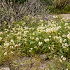 Browneyes -- Camissionia claviformis ssp claviformis